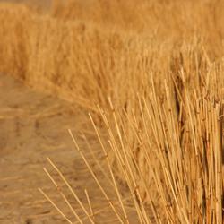 De gouden duinen