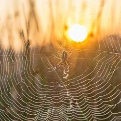 Spider @ Golden Morning