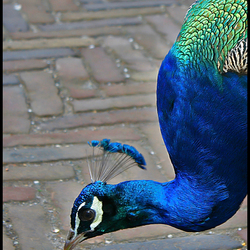 Een pauw, met mooi blauw.