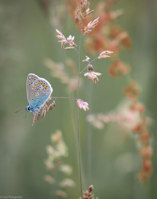 Heideblauwtje - Iedereen bedankt voor de leuke reacties van mijn vorige upload.<br /> <br /> Gr Hans