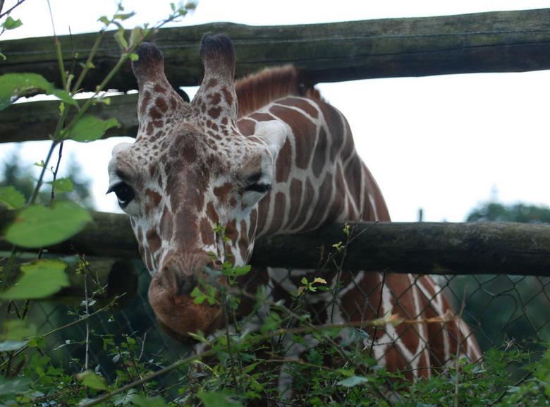 knipogende giraffe