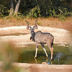 Een kudu in Zuid Afrika