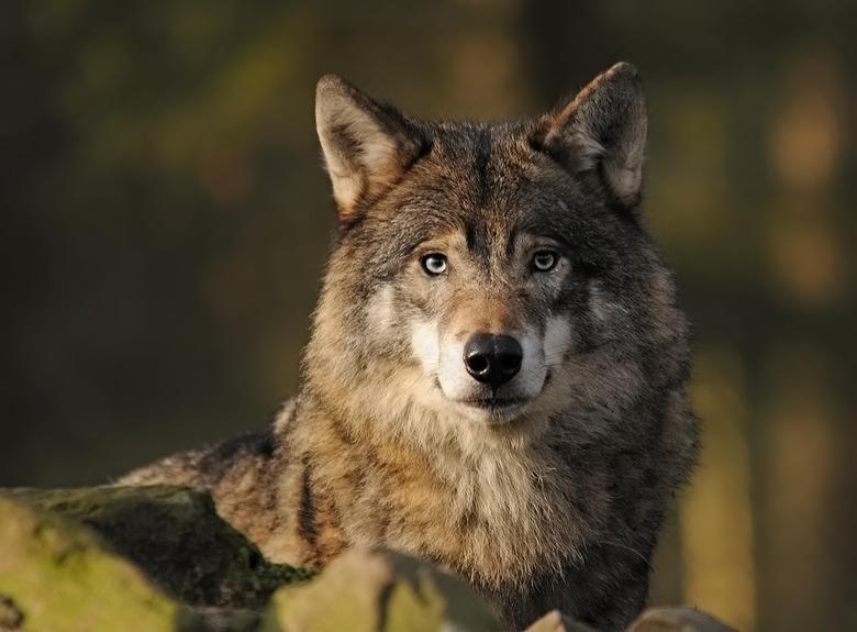 """wolf - Deze wolf zat me zo mooi aan te kijken , ik moest er gewoon een foto van maken.<br /> groetjes <img  src=""""/images/smileys/smile.png""""/>"""