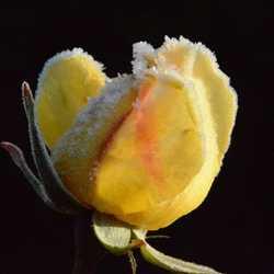 Jonge roos in de ochtendvorst.