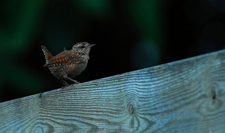 Winterkoning - De volwassen vogels zijn al erg beweeglijk en moeilijk te platen, en dit is dan ook nog eens de miniversie van een al erg mini vogeltje