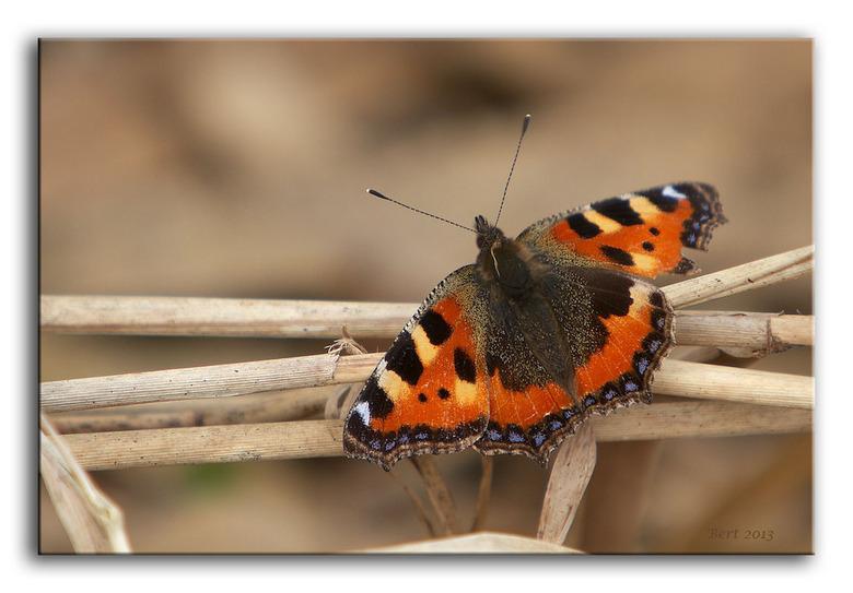 """Kleine Vos - De eerste vlinder die ik dit jaar afgelopen maandag tijdens mijn fietstocht zag. <br /> Groet Bert <img  src=""""/images/smileys/smile.png"""""""