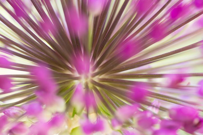 Allium 2.0 - Kijk even in het groot.<br /> <br /> Nog een foto van de zoomdag.<br /> <br /> Door heel dicht op de bloem van de Allium te gaan staa
