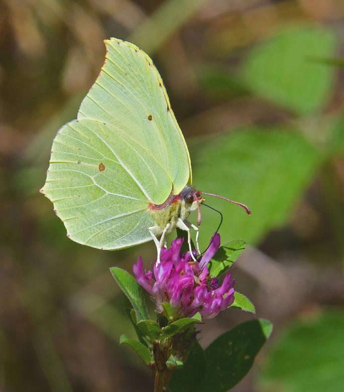 Citroenvlinder - Dit is mijn eerste foto van een vlinder op zoom. Macrofotografie is voor mij nog een ondergeschoven kindje. Deze foto is genomen met