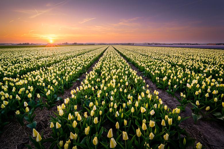 Frisse Tulpen