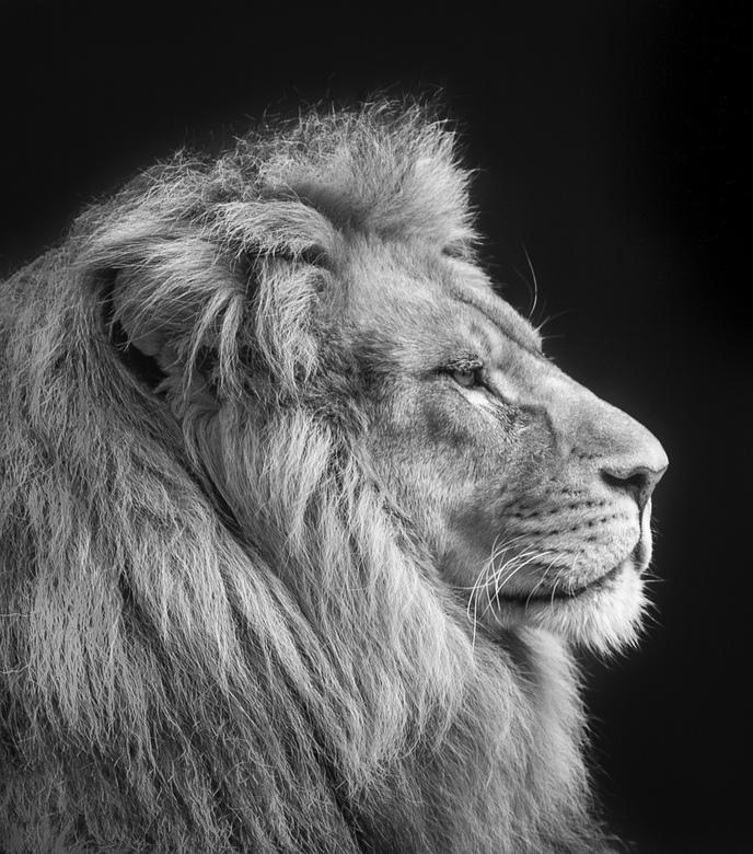 Simba - Simba van Stichting Leeuw.