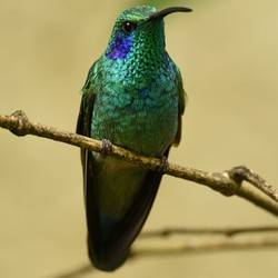 Kolibri (green violet ear)
