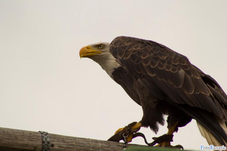 The American Sea Eagle - De Amerikaanse zee arend. Wat mooi en fantastisch beest!