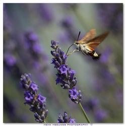 kolibrievlinder (onrust)