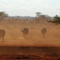Waterbuffels in Kenia