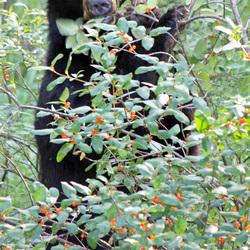 Zwarte beer in Jasper