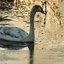 Zwaan met boom en ijs