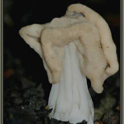 Witte kluifzwam