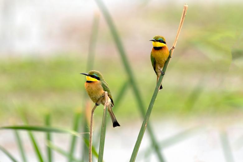 Little Bee-Eater - Een koppeltje Dwergbijeneters