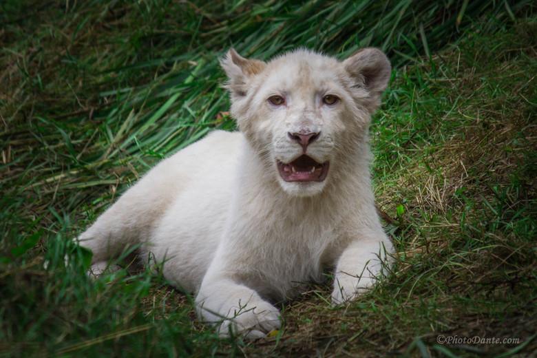 Wanna Play - Wat moet je over deze witte baby leeuw zeggen? Lief, aandoenlijk?