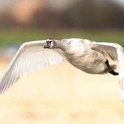 Zwaan in vlucht