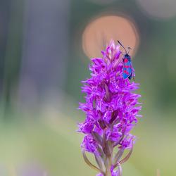 St jansvlinder op orchis