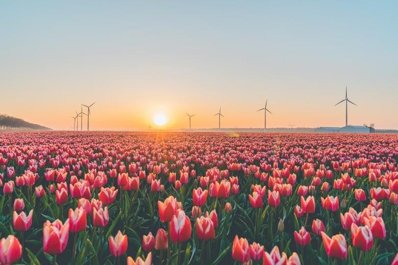 Tulpenvelden in Flevoland -