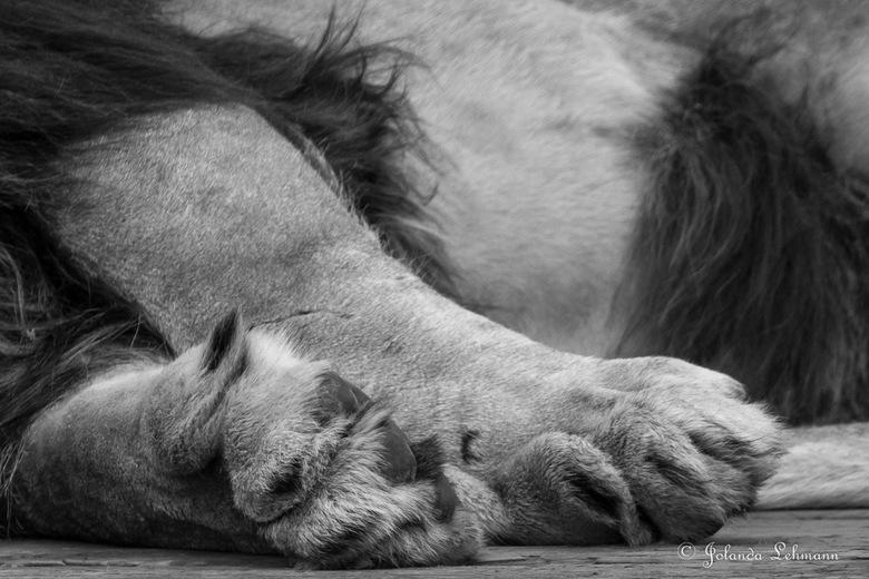 Detail van een leeuw - Dagje Beekse Bergen om vast te oefenen voor mijn reis naar Zuid-Afrika. Hier een detailfoto van de leeuw