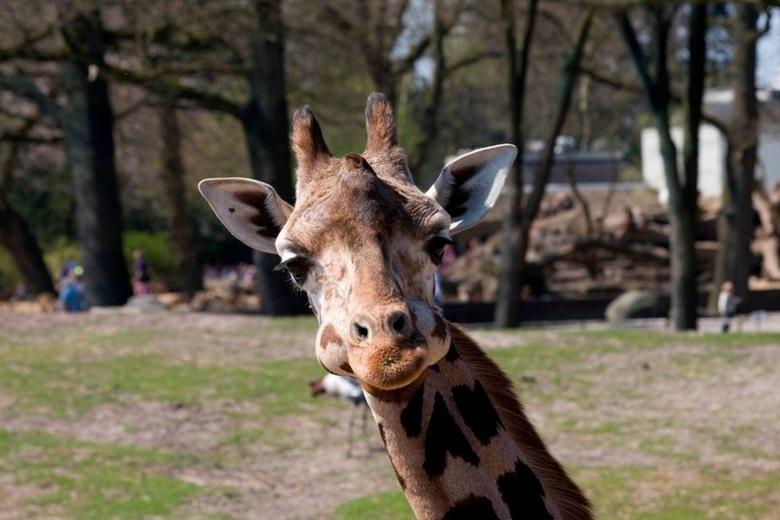 """Giraffe - Wil je een foto van een paradijsvogel maken voelt  iemand anders zich ineens heel erg belangrijk <img  src=""""/images/smileys/smile.png""""/>"""