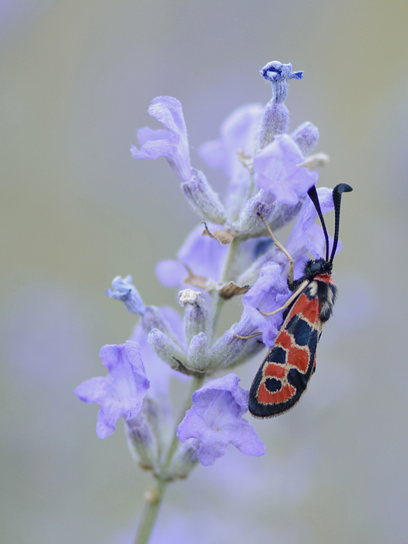 Oogvlek-sint-jansvlinder - De Oogvlek-sint-jansvlinder komt niet in ons land voor, maar buiten de Benelux is deze fraaie verschijning geen zeldzaamhei