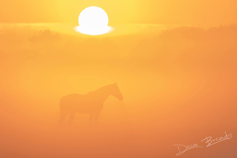 Paarden in de mist - De zonsopkomst, dichte mist en een paard wat het beeld in is gelopen. In combinatie met een telelens levert dat een schitterend b