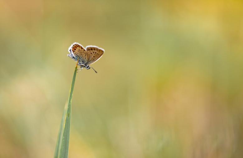In balans...... - Lichter dan licht , mooi geïllustreerd door dit heideblauwtje aan de top van een grasspriet dat niet eens doorbuigt.  Hartje juni te