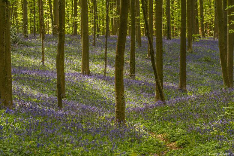 Lente in het Hallerbos - Vorige week in het Hallerbos geweest. Ik vond het moeilijk fotograferen zo tussen de bomen. Hier het lijnenspel opgezocht.
