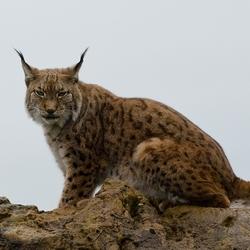 Lynx in Cantabria