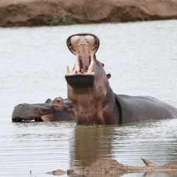 luie nijlpaarden in Zuid-Afrika