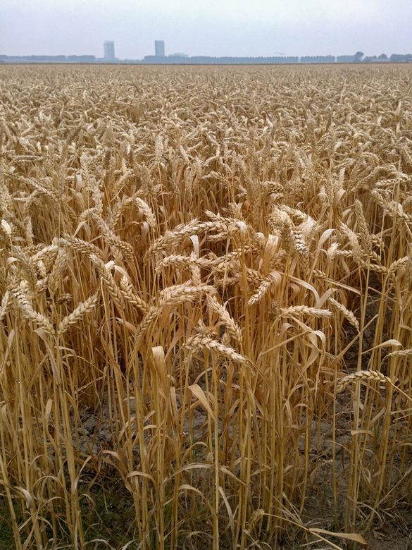 Graanveld - Tijdens mijn 34km duurloop (hardlopen) kwam ik langs dit mooie graanveld.<br /> Gemaakt in de Haarlemmermeer polder.<br /> Zoveel te zie