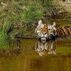 ook leeuwen en tijgers...............