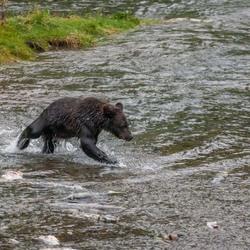 jonge grizzly op zalmjacht