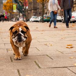 Een Engelse Bulldog in Engeland.