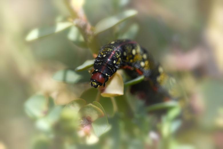 zeldzame wolfsmelkpijlstaartrups - De wolfsmelkpijlstaartrups is een nachtvlinder die dagactief is. De wolfsmelk plant is een giftige plant die alleen