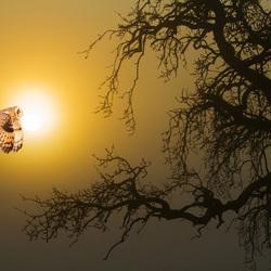 uil op nachtelijke jacht