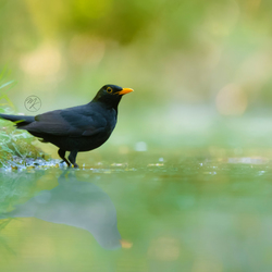 Misty blackbird