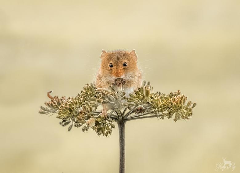 Een lekker hapje! - Deze dwergmuis zat lekker te peuzelen op een blaadje. <br /> <br /> <br /> 150mm 1/320 f/11 iso 2500
