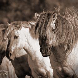 Koniks paarden@zoom