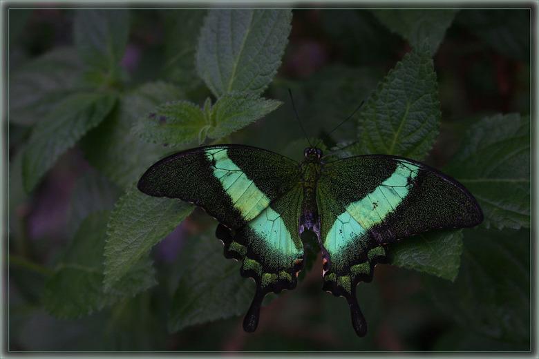 Groentje - Deze is qua scherpte beter gelukt, maar toch nog lastig om de juiste belichting te krijgen en zo de kleur groen op de vleugels goed te krij