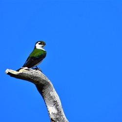 Groene zwaluw 2