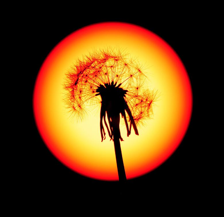 Paardenbloem voor de zon - Deze foto heb ik in mijn tuin gemaakt. De paardenbloem heb ik geplukt en op een statief bevestigd. Voor de lens heb ik een