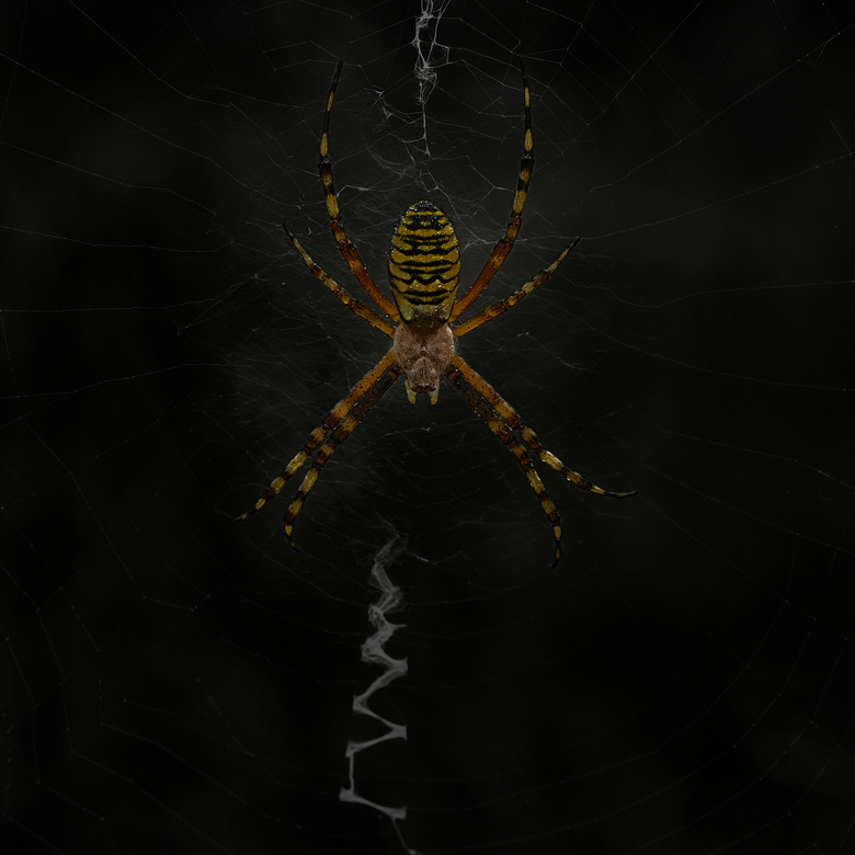 Glow in the dark - Er weer zitten honderden dames te wachten op eten geduldig in hen karakteristiek web. Het is dan zoeken naar eentje die mooi vrij h
