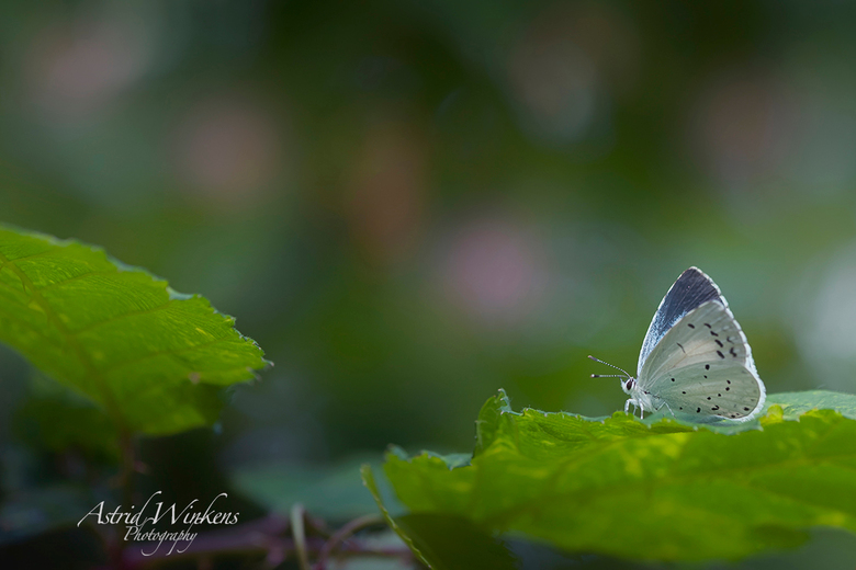 Summer is here - Op de grens tussen bos en heide zat dit blauwtje op ' haar blad'. Omdat het nog vroeg was, was ze nog niet heel actief en l