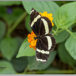 vlinder(tuin)