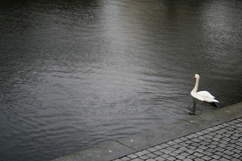IMG_6944 Eenzame zwaan - Eenzame zwaan. Is ie zijn maatje kwijt? Veel water en een witte zwaan.